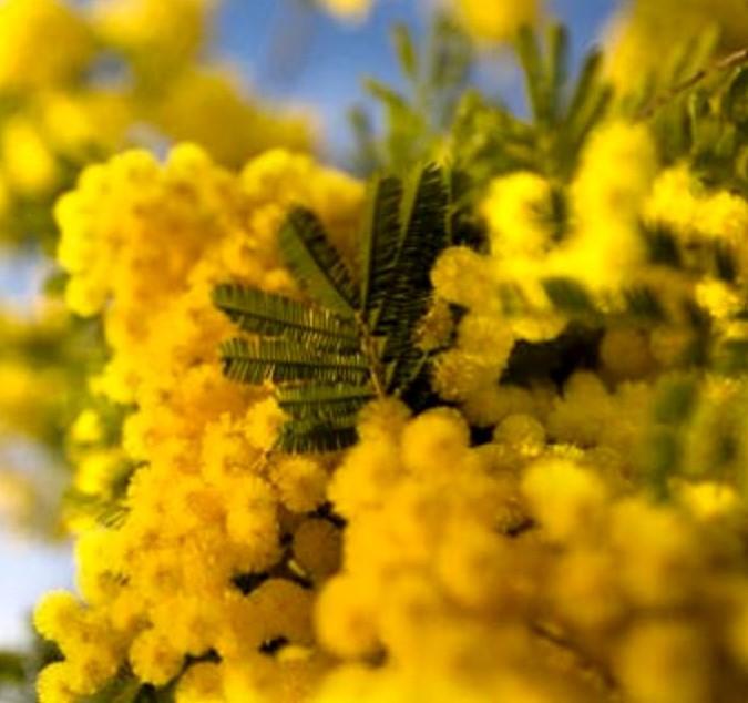 festa della donna mimosa